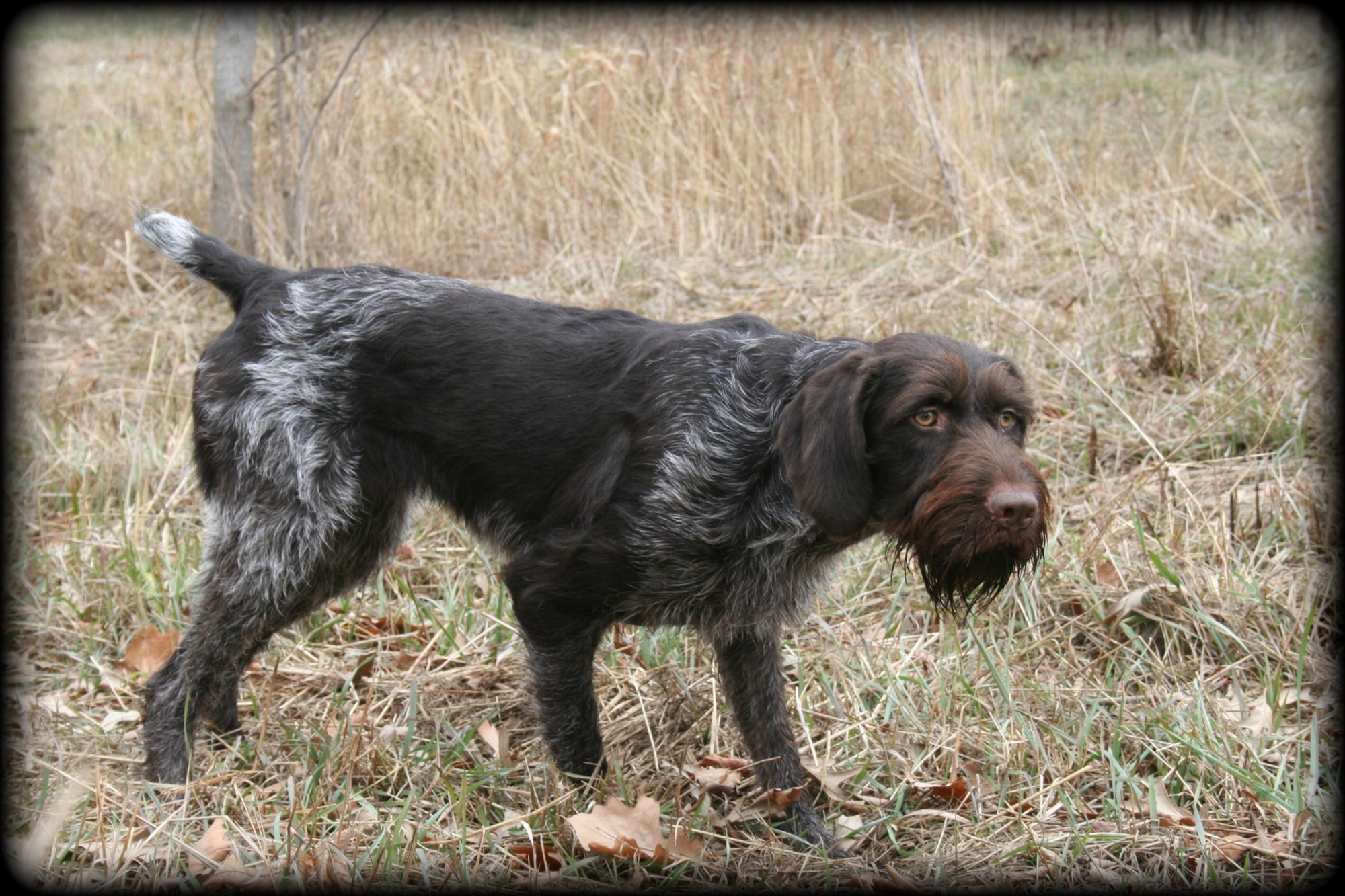 ve been into German wirehaired pointers for over 30 years. I ... German Wirehaired Pointer Training Videos