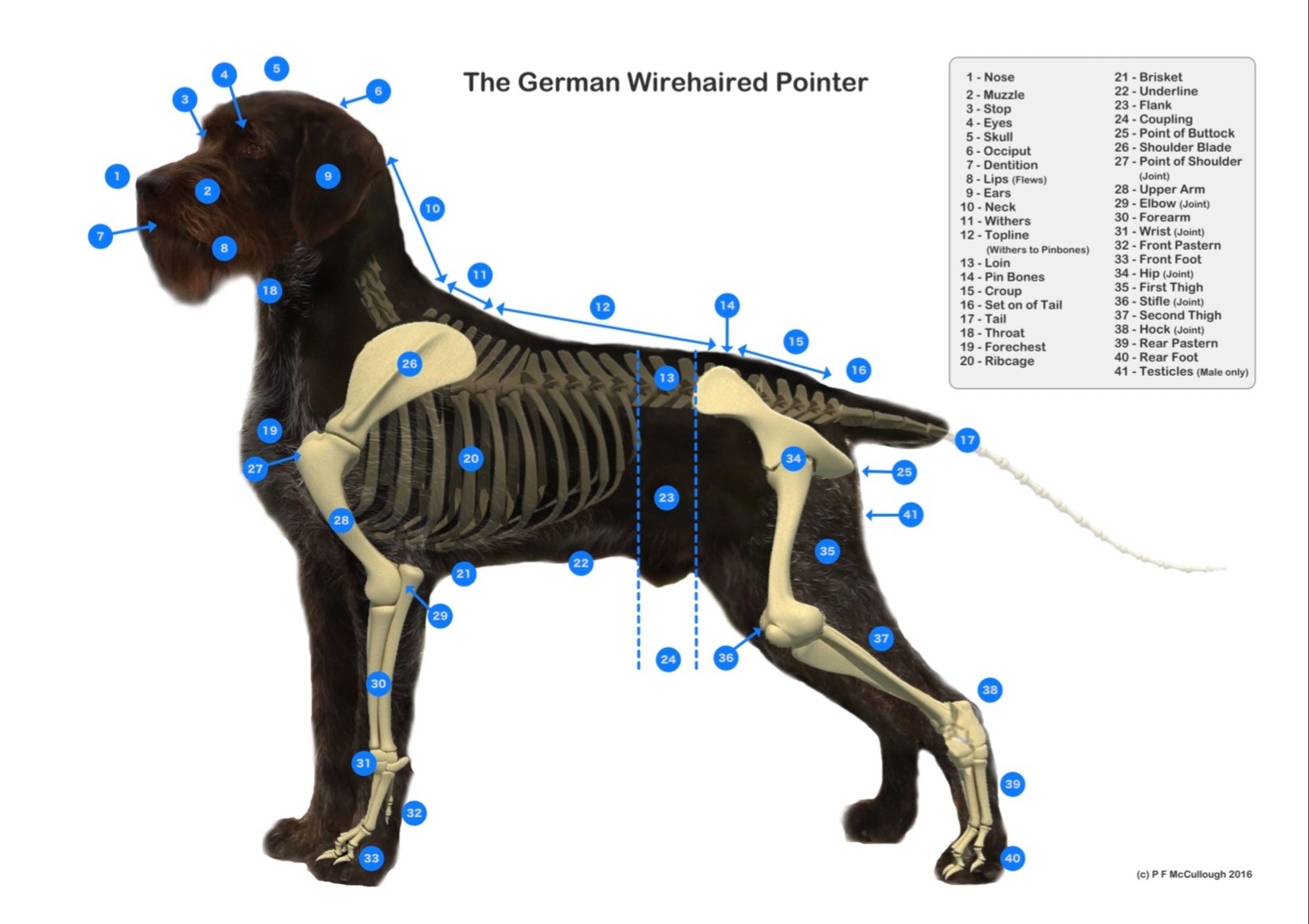 GWP Diagram | CLADDAGH German Wirehaired Pointers